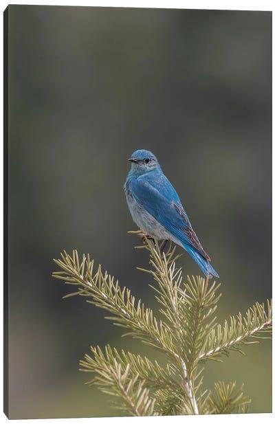 Mountain Bluebird On A Pine Tree Canvas Art Print