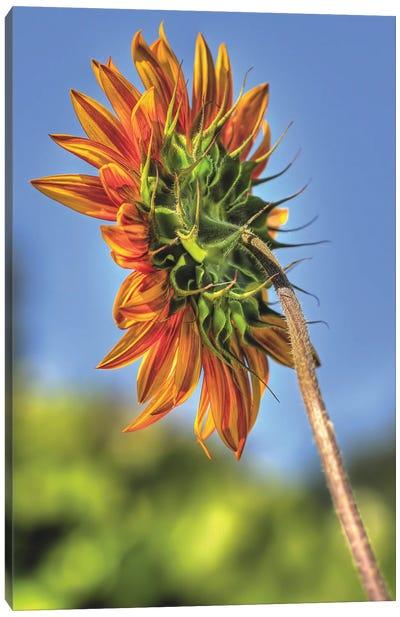 Sunflower Light Canvas Art Print