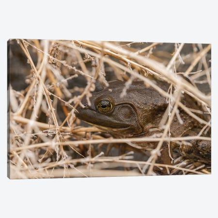 Frog Nesting Canvas Print #LRH261} by Louis Ruth Art Print