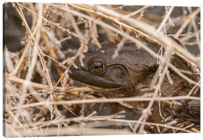 Frog Nesting Canvas Art Print