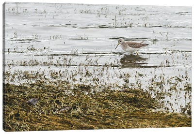 Sand Piper Water Fowl Canvas Art Print