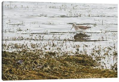 Sand Piper Water Fowl Canvas Art Print