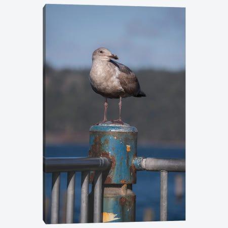Seagull Portrait Canvas Print #LRH311} by Louis Ruth Art Print