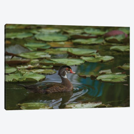 Alone In My Pond Canvas Print #LRH6} by Louis Ruth Canvas Artwork