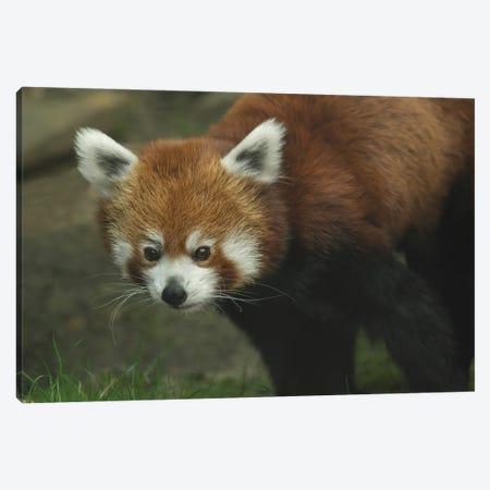 Red Panda Canvas Print #LRH82} by Louis Ruth Canvas Wall Art