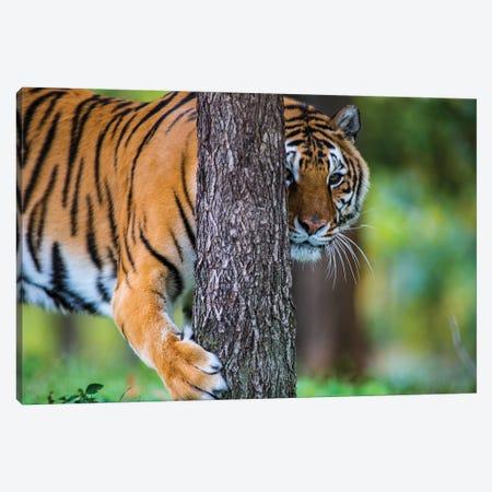 Tiger Tree Canvas Print #LRU31} by Doug LaRue Canvas Art
