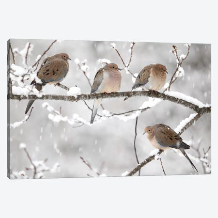Mourning Dove Group In Winter, Nova Scotia, Canada I Canvas Print #LSL10} by Scott Leslie Canvas Artwork