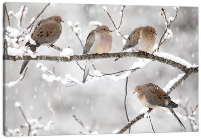 Mourning Dove Group In Winter, Nova Scotia, Canada I Canvas Art Print