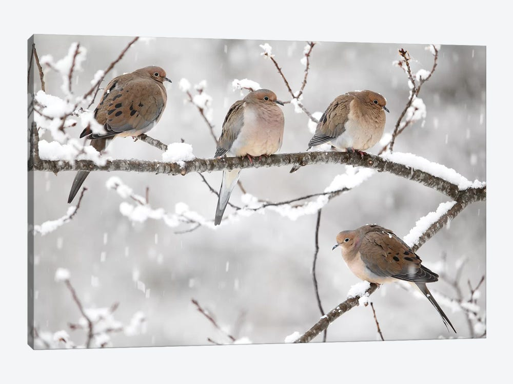 Mourning Dove Group In Winter, Nova Scotia, Canada I by Scott Leslie 1-piece Art Print