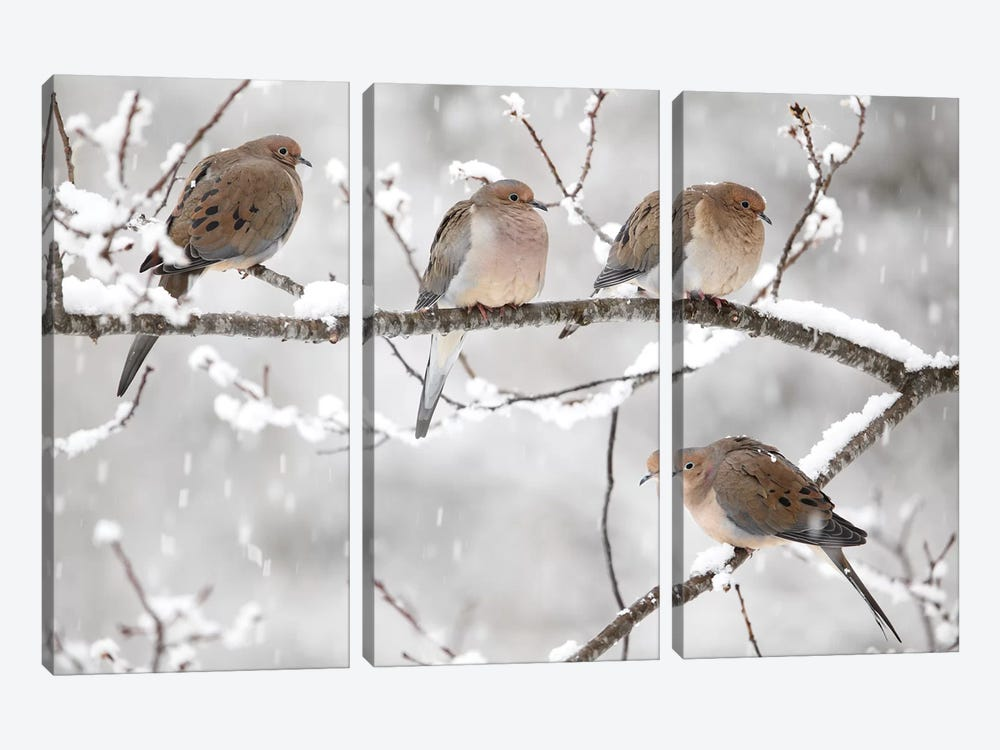 Mourning Dove Group In Winter, Nova Scotia, Canada I by Scott Leslie 3-piece Art Print