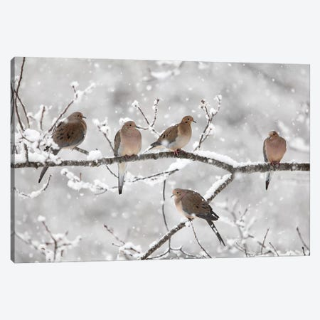 Mourning Dove Group In Winter, Nova Scotia, Canada II Canvas Print #LSL11} by Scott Leslie Canvas Artwork