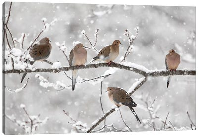 Mourning Dove Group In Winter, Nova Scotia, Canada II Canvas Art Print