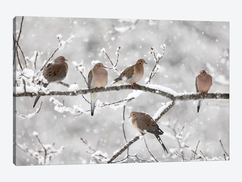Mourning Dove Group In Winter, Nova Scotia, Canada II 1-piece Canvas Art