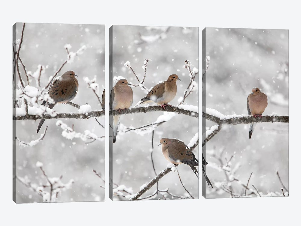 Mourning Dove Group In Winter, Nova Scotia, Canada II 3-piece Canvas Wall Art
