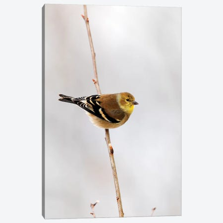 American Goldfinch, Canada Canvas Print #LSL1} by Scott Leslie Canvas Wall Art