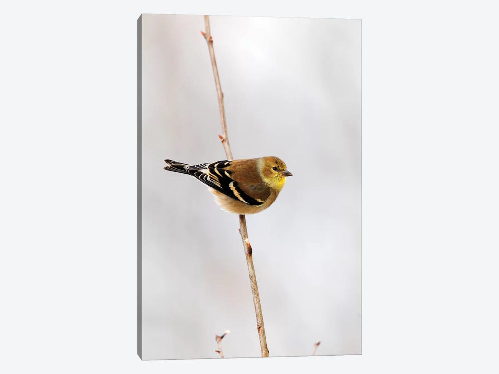 American Goldfinch, Canada by Scott Leslie 1-piece Canvas Artwork