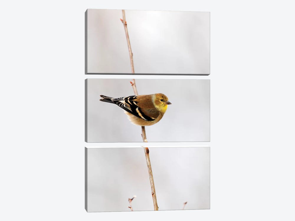 American Goldfinch, Canada by Scott Leslie 3-piece Canvas Wall Art