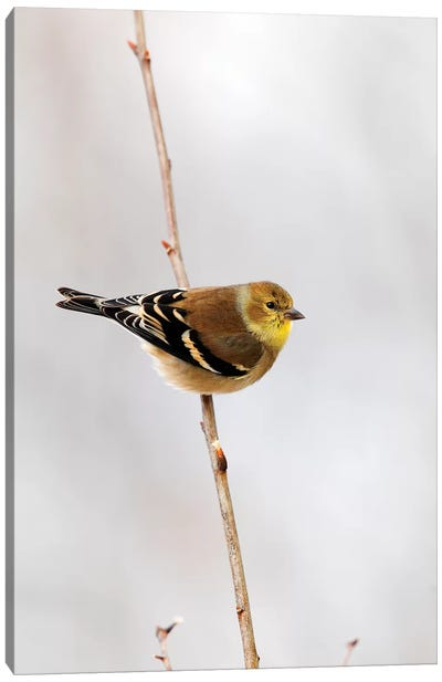 American Goldfinch, Canada Canvas Art Print