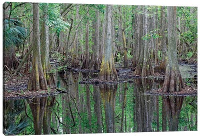 Bald Cypress Trees In Flooded Swamp, Highlands Hammock State Park, Florida Canvas Art Print