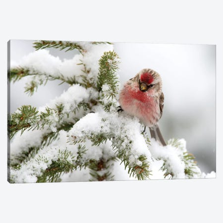 Common Redpoll Male In Winter, Nova Scotia, Canada Canvas Print #LSL8} by Scott Leslie Canvas Art