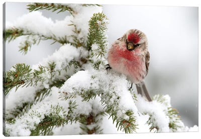 Common Redpoll Male In Winter, Nova Scotia, Canada Canvas Art Print