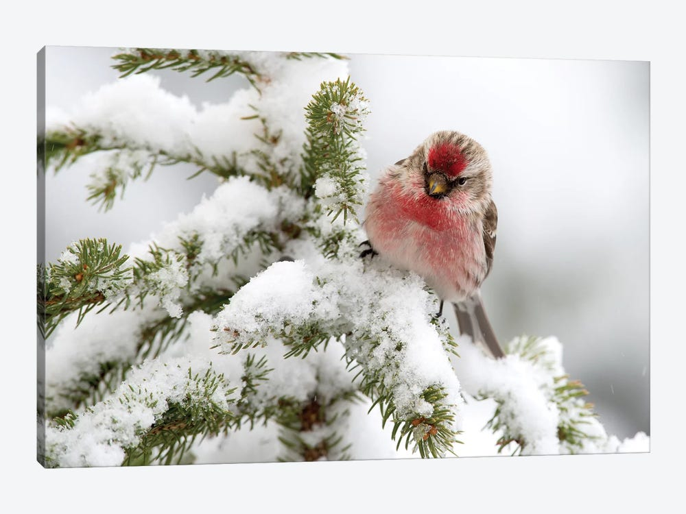 Common Redpoll Male In Winter, Nova Scotia, Canada by Scott Leslie 1-piece Canvas Art Print