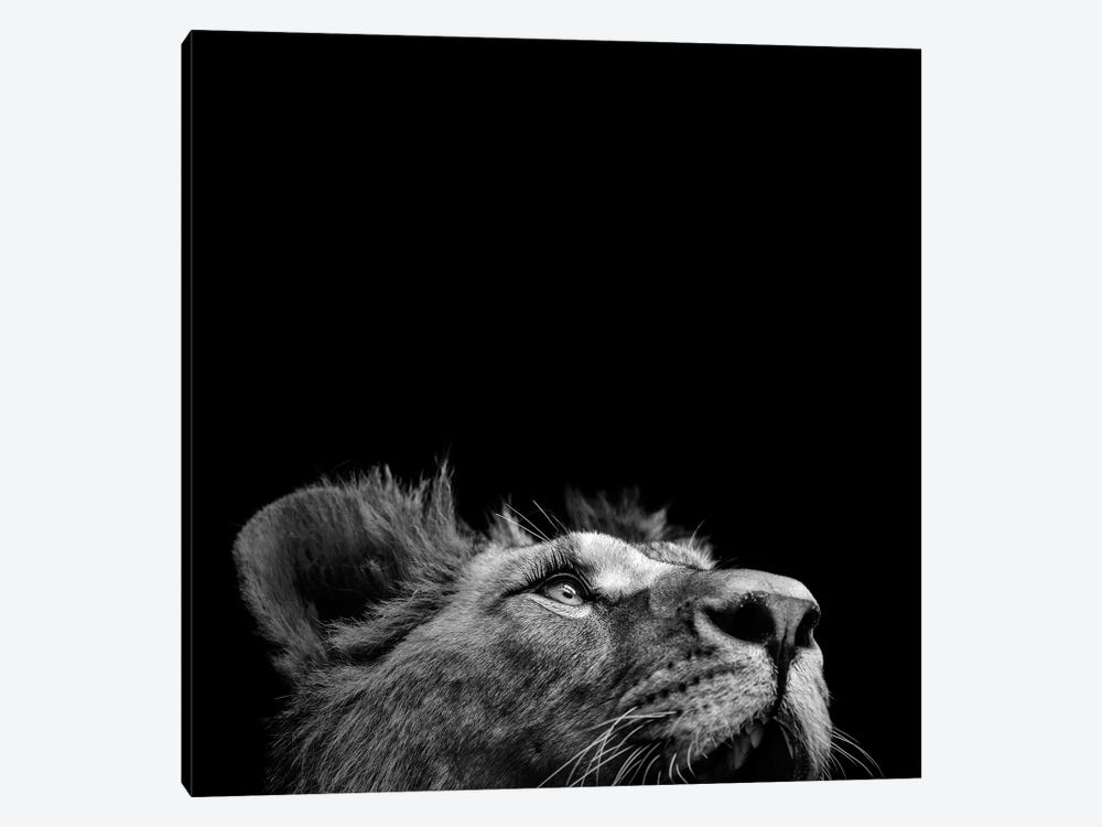 Lion In Black & White II by Lukas Holas 1-piece Canvas Art
