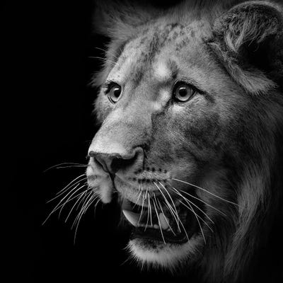 Lion In Black & White III Canvas Art by Lukas Holas | iCanvas