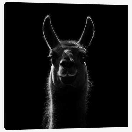Llama In Black & White Canvas Print #LUK16} by Lukas Holas Canvas Artwork