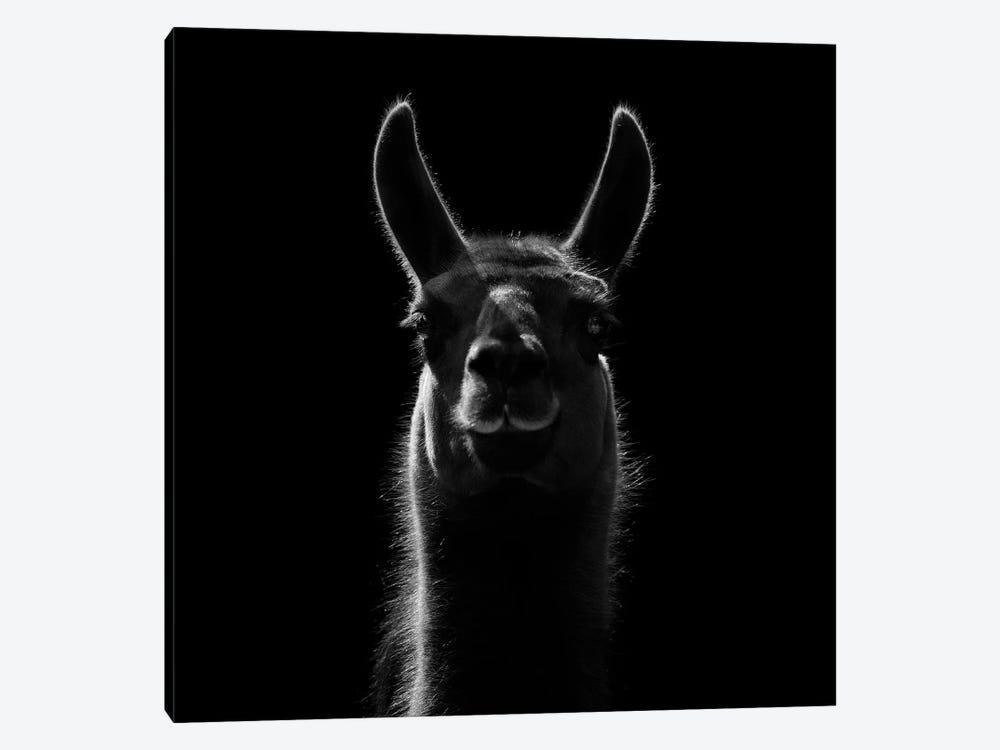 Llama In Black & White by Lukas Holas 1-piece Canvas Artwork