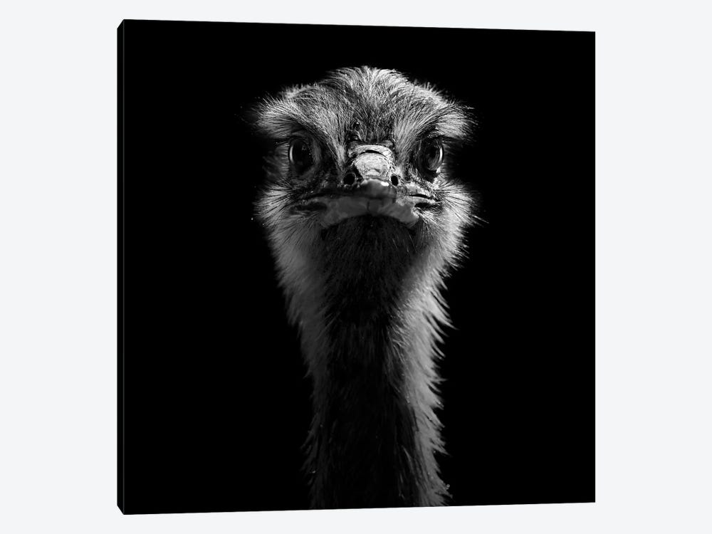 Ostrich In Black & White Canvas Wall Art by Lukas Holas | iCanvas