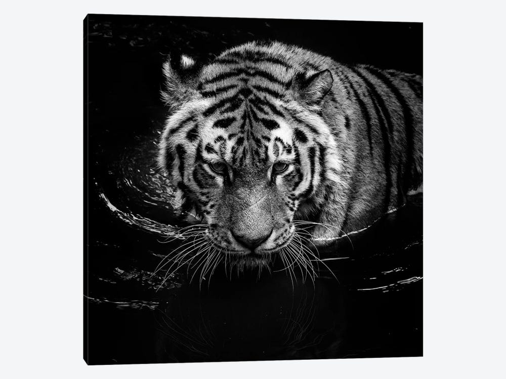 Tiger In Water, Black & White by Lukas Holas 1-piece Art Print