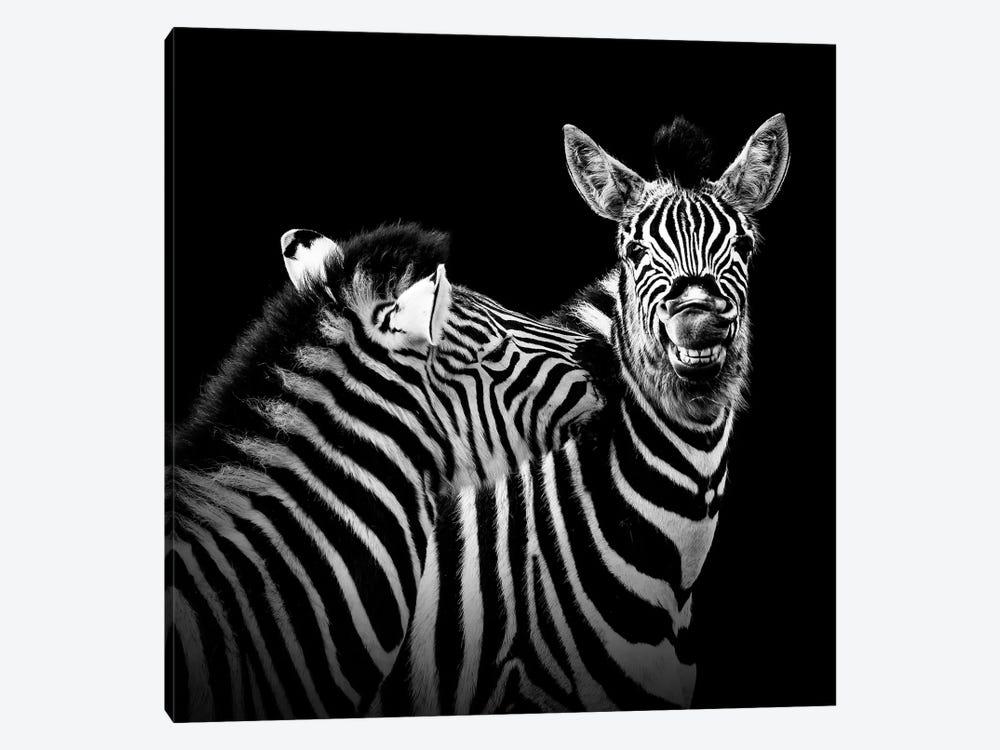 Two Zebras In Black & White II by Lukas Holas 1-piece Art Print
