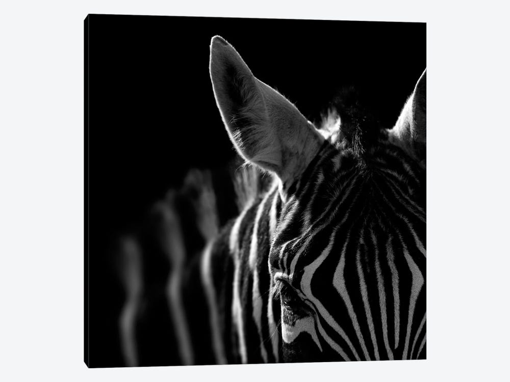 Zebra In Black & White IV by Lukas Holas 1-piece Canvas Artwork