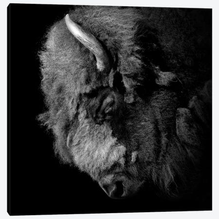 Buffalo In Black & White 3-Piece Canvas #LUK3} by Lukas Holas Canvas Art Print