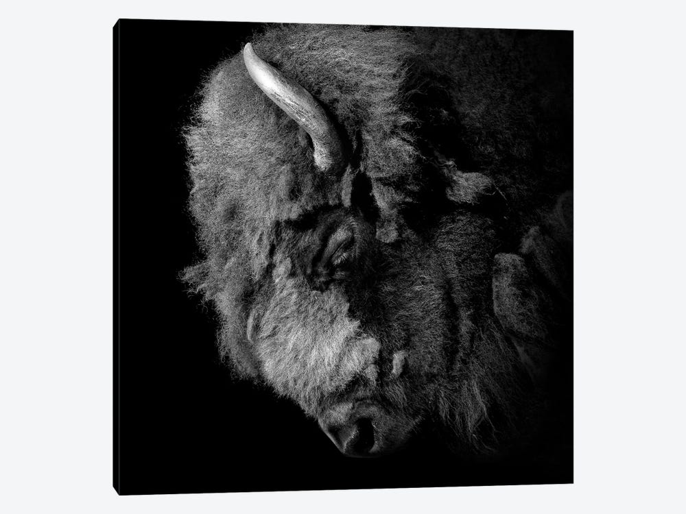 Buffalo In Black & White by Lukas Holas 1-piece Canvas Art Print
