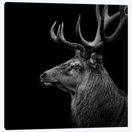 Deer In Black & White Canvas Print #LUK4} by Lukas Holas Canvas Wall Art