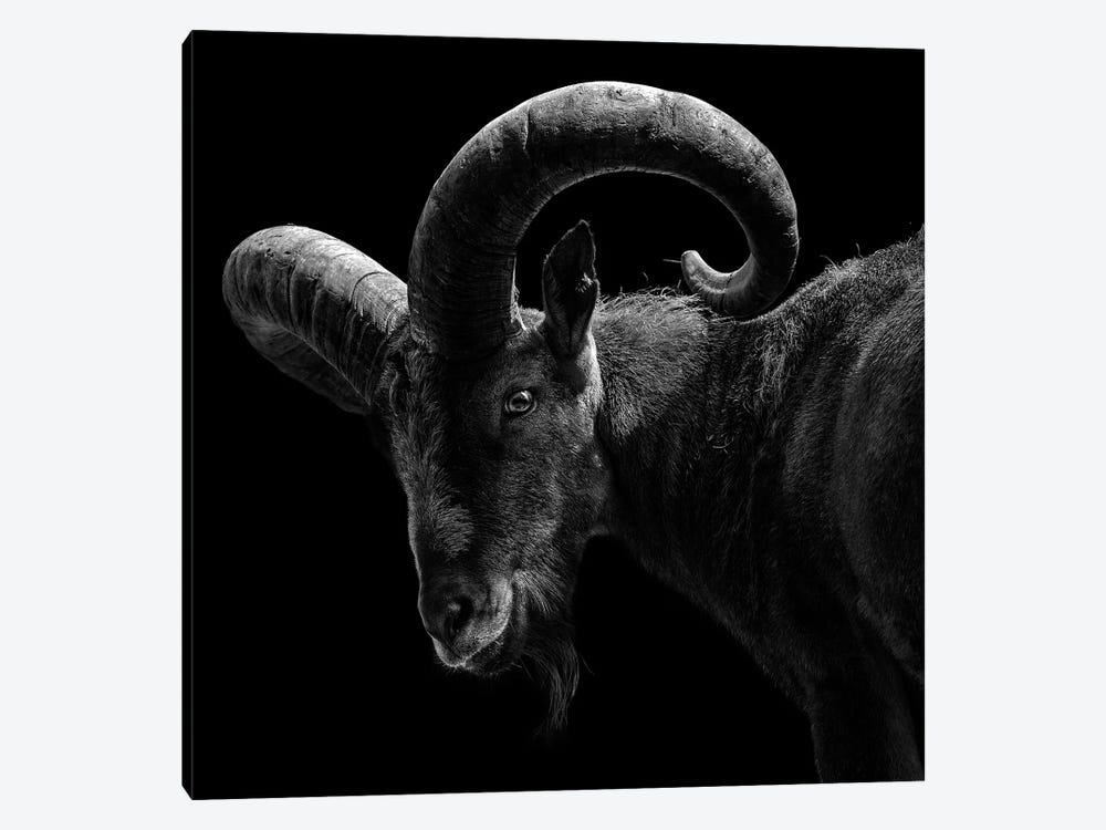 East Caucasian Tur In Black & White by Lukas Holas 1-piece Canvas Wall Art