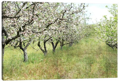 Apple Orchard Canvas Art Print