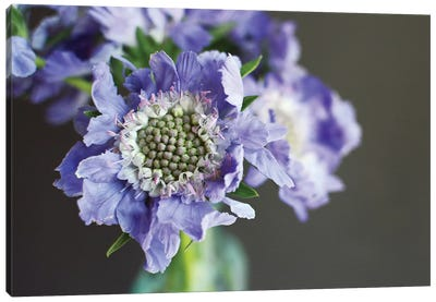 Purple Scabiosa Canvas Art Print