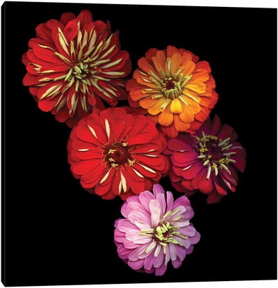 Zinging Zinnia Canvas Art Print