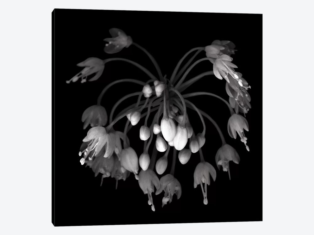 Allium II, B&W by Magda Indigo 1-piece Canvas Art