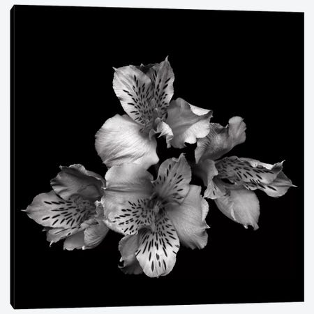 Alstoemeria II, B&W Canvas Print #MAG104} by Magda Indigo Canvas Wall Art