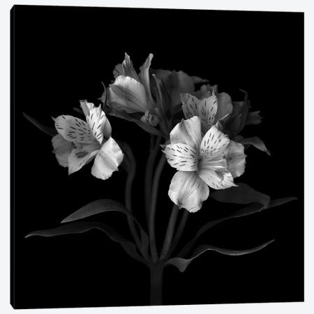 Alstoemeria VII, B&W Canvas Print #MAG105} by Magda Indigo Canvas Art