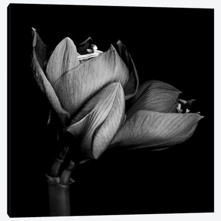 Amaryllis Stage, B&W Canvas Print #MAG107} by Magda Indigo Canvas Artwork