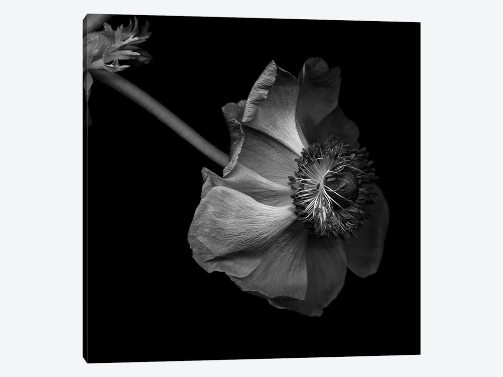 Anemone, B&W by Magda Indigo 1-piece Canvas Art Print