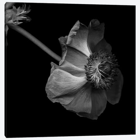Anemone, B&W Canvas Print #MAG108} by Magda Indigo Canvas Art Print