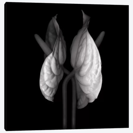Anthurium VII, B&W Canvas Print #MAG109} by Magda Indigo Art Print