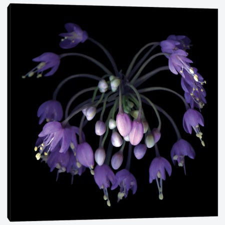 Allium Fireworks Canvas Print #MAG10} by Magda Indigo Canvas Print