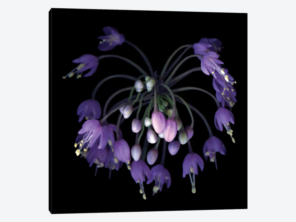 Allium Fireworks by Magda Indigo 1-piece Canvas Print